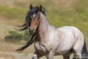 Mustang at Return to Freedom Sanctuary in Lompoc, CA, stallion with mane blowing
