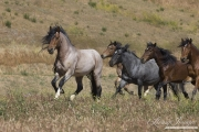 Mustang at Return to Freedom Sanctuary in Lompoc, CA, stallion leads the mares