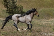 Mustang at Return to Freedom Sanctuary in Lompoc, CA, stallion running