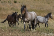 Mustang at Return to Freedom Sanctuary in Lompoc, CA, stallion in front of mares and yaerling