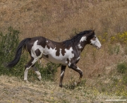 Mustang at Return to Freedom Sanctuary in Lompoc, CA, pinto stallion going down the hill