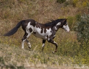 Mustang at Return to Freedom Sanctuary in Lompoc, CA, pinto stallion goes down the hill