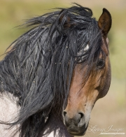 Mustang at Return to Freedom Sanctuary in Lompoc, CA, head of stallion