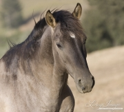 grulla mustang mare at Return to Freedom Sanctuary in Lompoc, CA