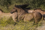 red dun mustang stallion and mares running at Return to Freedom Sanctuary in Lompoc, CA