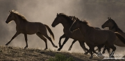 mustang mares run in the dust at Return to Freedom Sanctuary in Lompoc, CA