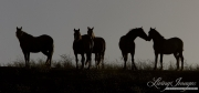 mustangs on the hill in silhouette at Return to Freedom Sanctuary in Lompoc, CA