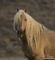 A wild Horse in the Sand Wash Basin Herd Area of Colorado