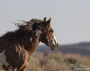 A wild horse in the Sand Wash Basin Herd Area