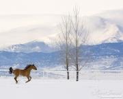 Red Dun Quarter Horse Mare runs in Snow, Longmont, CO