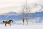 Red Dun Quarter Horse Mare runs in Snow, Longmont, CO