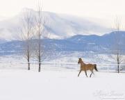 Red Dun Quarter Horse Mare trots in Snow, Longmont, CO