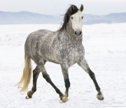 Purebred Grey Andalusian mare in Longmont, CO trots in snow