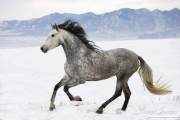 Purebred Grey Andalusian mare in Longmont, CO running in snow