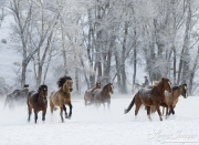 Quarter horses at a ranch in Shell, Wyoming in winter