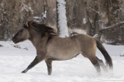 A mustang at a ranch in Shell, Wyoming in winter