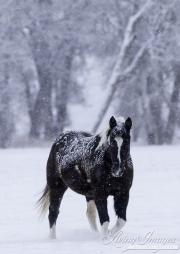 SnowHorses-170