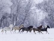 SnowHorses-173