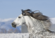 purebred Grey Andalusian Stallion running in snow in Longmont, CO
