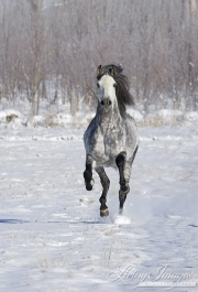 Grey Andalusian Stallion running in snow in Longmont, CO
