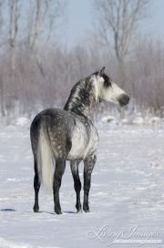 Grey Andalusian Stallion standing in snow in Longmont, CO
