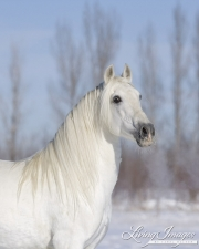 Grey Andalusian Stallion in snow in Longmont, CO