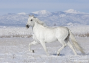 Grey Andalusian Stallion trotting in snow in Longmont, CO
