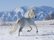 SnowHorses-245