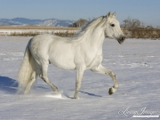 purebred grey Andalusian stallion in snow in Longmont, CO