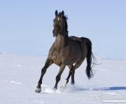 Bay German Wamblood gelding running in Elizabeth, CO