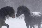 SnowHorses-365