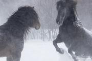 SnowHorses-366