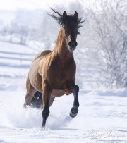 Bay Andalusian stallion running in the snow in Berthoud, CO