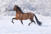 Bay Andalusian stallion doing passage in the snow in Berthoud, CO
