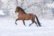 Bay Andalusian stallion trotting in the snow in Berthoud, CO