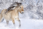 Norwejian Fjord Mare runs in the snow in Berthoud, CO