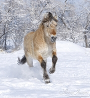 Norwejian Fjord stallion runs in the snow in Berthoud, CO