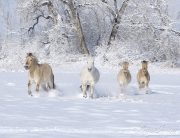 Norwejian Fjord Mares and foals run in the snow in Berthoud, CO