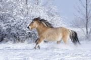Norwegian Fjord Mare running in snow in Berthoud, CO