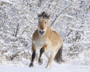 Norwegian Fjord Stallion running in snow in Berthoud, CO