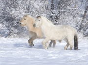 Norwegian Fjord Mares trotting in snow in Berthoud, CO