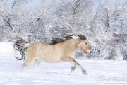 Norwegian Fjord Mare running in snow, Berthoud, CO