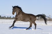 Bay German Wamblood gelding running in Elizabeth, CO