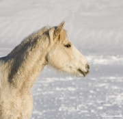 palomino quarter horse  in the snow at Flitner Ranch, Shell, WY