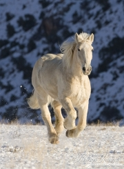 palomino draft horse running in the snow at Flitner Ranch, Shell, WY