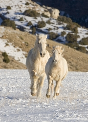 palomino draft horse and palomino quarter horse running in the snow at Flitner Ranch, Shell, WY