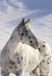 leopard appaloosa standing in the snow at Flitner Ranch, Shell, WY