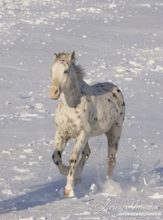 leopard appaloosa running in the snow at Flitner Ranch, Shell, WY