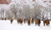 quarter horses running in the snow at Flitner Ranch, Shell, WY