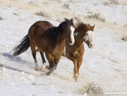 Quarter horses, bay and paint, running in snow at Flitner Ranch, Shell, WY